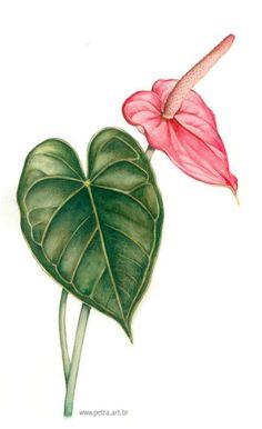 Anthurium Botanische Tekening Ilustracao Ilustracao Botanica Flores