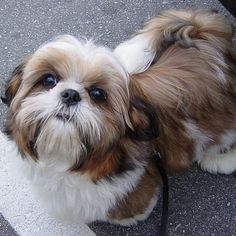 17 Things All Shih Tzu Owners Must Never Forget 12. Please don't hit me.