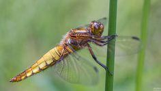Broad-bodied Chaser - platbuik  (Libellula depressa) | Flickr - Photo Sharing!