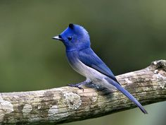 He may be the monarch of all he surveys, but this is one member of the avian royalty who'd much rather avoid the spotlight, thank you! Click the pic to learn more about the Black-naped Monarch of Coorg...