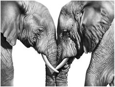 Welcome to the fine art gallery and online shop of Richard Symonds where you can buy limited edition prints of elephants, tigers, lions and other wildlife art. Photo Elephant, Elephant Love, Elephant Art, Wildlife Paintings, Wildlife Art, Amazing Drawings, Amazing Art, Elephant Photography, Animals Black And White