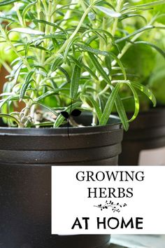 Everything you need to know about growing herbs at home. Fresh herbs save money and add flavor to any meal.