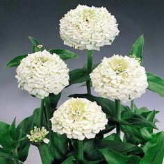 White ball bachelors button plant flowers heavy blooming 30 36 white ball bachelors button plant flowers heavy blooming 30 36 plants about 750 seeds fleur early spring pinterest plants flower and seeds mightylinksfo
