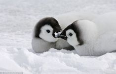 28 Pictures Of Animals Kissing That Will Brighten Up Your Animals Kissing, Cute Baby Animals, Animals And Pets, Penguin Love, Cute Penguins, Romantic Animals, Cute Creatures, Animals Of The World, Animal Pictures