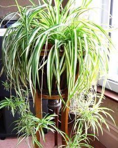 House Plants 361554676334192777 - chlorophytum plante qui aime l'ombre Source by cmmnteconomiser Outdoor Plants, Garden Plants, Patio Plants, Potted Plants, Sun Plants, Tomato Plants, Garden Soil, Garden Table, Outdoor Landscaping