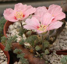 Sarcocaulon peniculinum. Native to Namibia. (Succulent)
