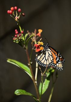 How to maintain a monarch butterfly garden
