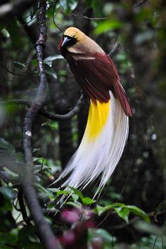 """""""Yellow Cendrawasih    Cendrawasih or Paradisaea Minor    Origin: Papua, New Guinea, Indonesia  Shot at Taman Safari, Bogor, Indonesia  July 2010""""    via flickr.com"""