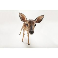 photo by @joelsartore | Oh dear! Check out this adorable three-week-old white-tailed deer fawn at the @GladysPorterZoo! Check out my feed to see more members of the #PhotoArk. #joelsartore #cute #photooftheday by natgeo