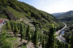 Kurzurlaub im Tal der roten Trauben mit Dernauer Weinfruehling, Weinwanderung und Maibaumtradition - http://www.reisegezwitscher.de/reisetipps-footer/1308-ahrtal