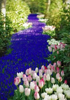 A shot of the Muscari river by koorelle. These flowers cover 32 hectares of the gardens and woodland, at Keukenhof Gardens in Holland.