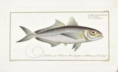 The Big-Eyed Scad by Marcus Bloch c. 1796 Hand Colored Antique Fish Print