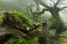 photos by david clapp, katherine kuzmenko and duncan george from the ancient oak forest of wistmans wood in dartmoor Dartmoor National Park, Tree Forest, Oak Forest, Wild Forest, Jolie Photo, Amazing Nature, Faeries, Mother Nature, Woodland