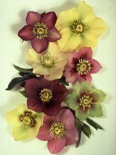 helleborus (lenten rose)