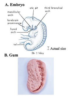 The Quran on Human Embryonic Development - The Religion of Islam