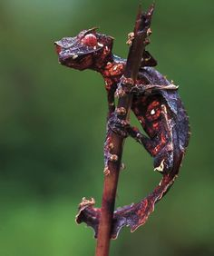Satanic Leaf Tailed Gecko is only found in Madagascar. Its coloration can vary from tan to purple to orange and its tail looks like amazingly similar to a decaying leaf, hence its name.