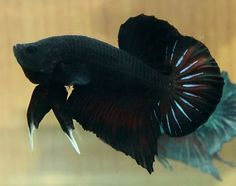 plakat betta fish | Thread: SUPER BLACK Halfmoon Plakat Betta (FREE SHIPPING)