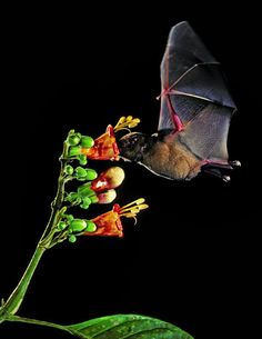 Pallas's long-tongued bat, above, is a valuable pollinator. Hibernating bats are vulnerable to white-nose syndrome, which has killed at least six million of them in North America. Credit Merlin D. Tuttle/Bat Conservation International