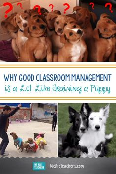 Why Good Classroom Management is a Lot Like Training a Puppy. What does training puppies have to do with good classroom management? Take a look at how dog training tips can work in the classroom. Classroom Management Strategies, Classroom Procedures, Behaviour Management, Primary Classroom, Classroom Resources, Kindergarten Classroom, Future Classroom, Behavior, Training Plan
