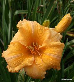 Daylily 'Orange Velvet'