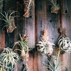Air plant wall at Crimson Horticulture :: photo by Claire Mazur