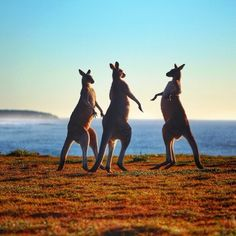 Three Kangaroo's standing tall in the Yuraygir National Park. captured this awesome photo on the NSW North Coast between Yamba and Coffs Harbour. Perth, Brisbane, Melbourne, Moving To Australia, Visit Australia, Western Australia, Australian Icons, Australian Animals, Amphibians
