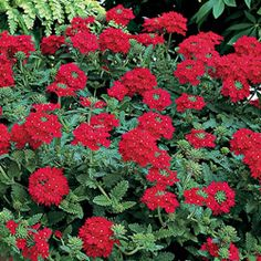 red ribbons ground cover rose a ground cover rose i gotta get