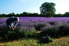 Mayfields Lavender Farm is a short walk from Banstead station, and smells incredible. The farm is running a photo competition this summer, and the cafe stocks everything from lavender ice cream to lavender lemonade. Mayfield Lavender, Photo Competition, Lavender Fields, Train Rides, Planting Seeds, Shades Of Purple, The Places Youll Go, Day Trips, Around The Worlds