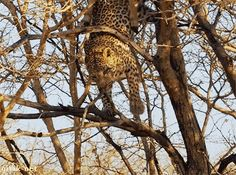 Leopards Are So Graceful, At Least Most Of The Time