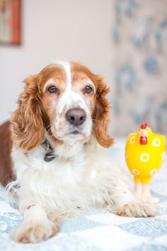 Sandy, our welsh spinger spaniel in the Easter mood