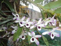 Estas orquídeas florescem todo ano!