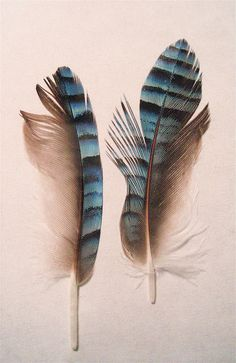 Eurasian Jay Feathers by Denise Wight, via Flickr