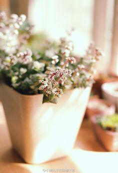 #viridian #常磐千草 #succulents #sedum #echeveria #多肉 #多肉植物 #景天科 #plants