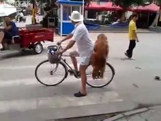 Dog protects owners bike from being stolen then rides off on it RIRI THE GOLDEN RETRIEVER