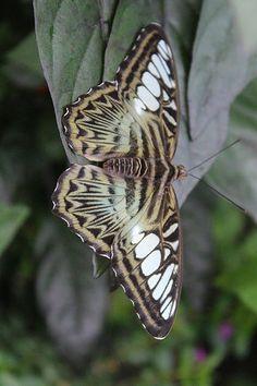 Clipper Butterfly by Kiasog