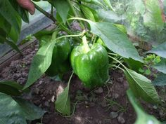 15 most popular vegetables and fruits to grow in a green house | The Self-Sufficient Living