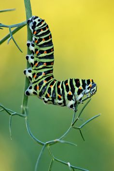 Papilio+machaon