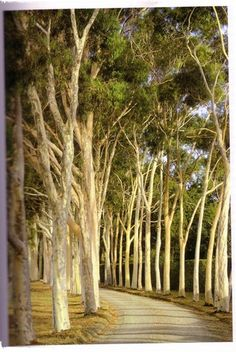 gum tree lined driveway at Cruden Farm - Eucalyptus Citriodora (Natural Planting - Penelope Hobhouse) | Flickr - Photo Sharing!