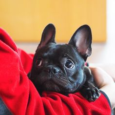 """Explore our site for more relevant information on """"Bulldog puppies"""". It is actually an exceptional location for more information. Cãezinhos Bulldog, French Bulldog Puppies, French Bulldogs, Baby Animals, Funny Animals, Cute Animals, Cute Puppies, Cute Dogs, Bullen"""