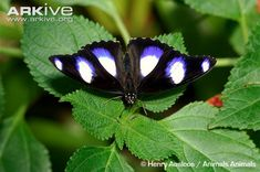 View a slideshow of photos of the Diadem butterfly