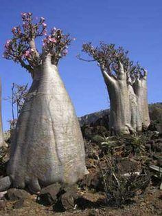 Dendrosicyos socotranus a.k.a. the Cucumber tree. Native to Socotra island, Yemen. (Succulent)