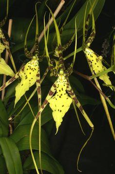 Brassia Verrucosa Orchid   Brassia verrucosa   flowers + plants   Pinterest