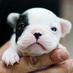 2 week old French Bulldog Puppy