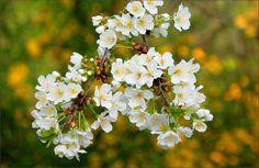 Baumblüten - Jahreszeiten - Galerie - Community