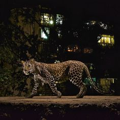 @natgeo @stevewinterphoto Here is more proof that we humans live with majestic animals in urban areas without even knowing they are there - AND without major problems - if we let them be. Leopards are the most adaptable and the most persecuted cat on our planet.  Shot for my @natgeo Leopard story - here is a leopard walking in front of an apt. building on the edge of Sanjay Gandhi National Park in Mumbai India. http://ift.tt/1Qh2INg The residents of Mumbai use the park during the day - kids…