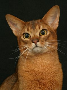Adorable  ---> Abyssinian Cats are known to be extremely loyal and obedient felines making them easy to train in the house.