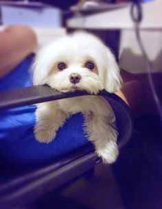 Top 5 Least Smelly Dog Breeds - Maltese is also considered hypoallergenic because of minimal shedding..
