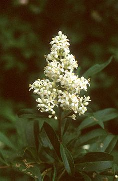 Fagyal (Ligustrum vulgare, Oleaceae) virágzata (Turcsányi Gábor felvétele)