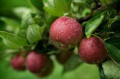 5 najlepših sorti jabuka: saveti za upotrebu u ishrani