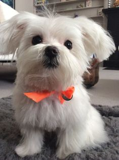 Meet Maltese Cooper Grey, Dog of Christie: Teacup Maltese, Maltese Dogs, Teacup Puppies, I Love Dogs, Cute Dogs, Baby Animals, Cute Animals, Dog Rules, Dog Coats